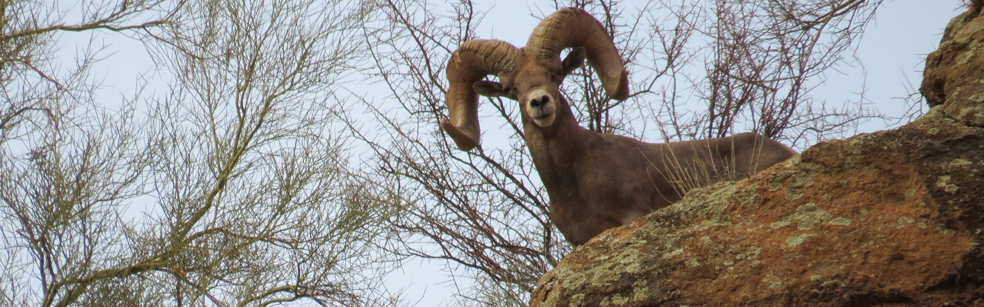 Arizona Sheep Hunts